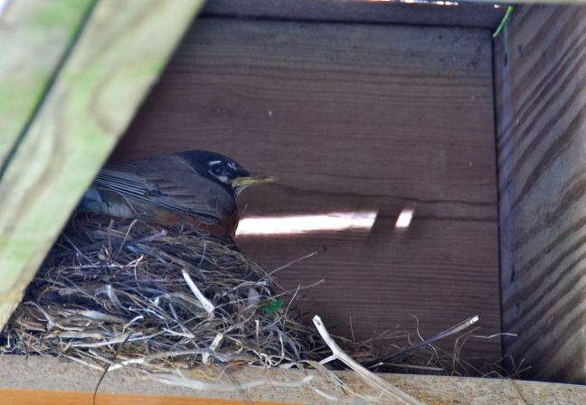 May 10 - On The Nest.jpg
