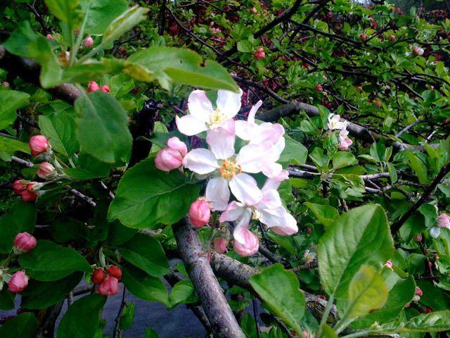 May 8 - Apple Blossom.jpg