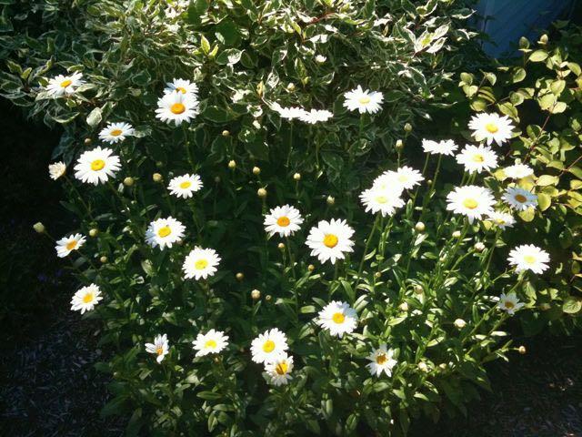 July 9 - Daisies.jpg