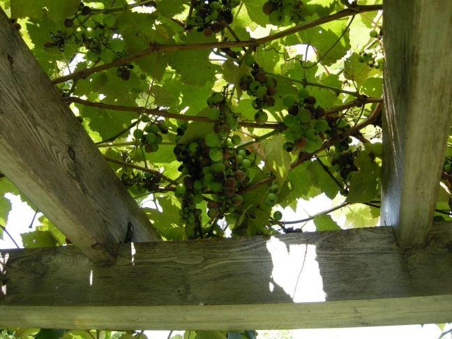 August 19 - Grapes.jpg