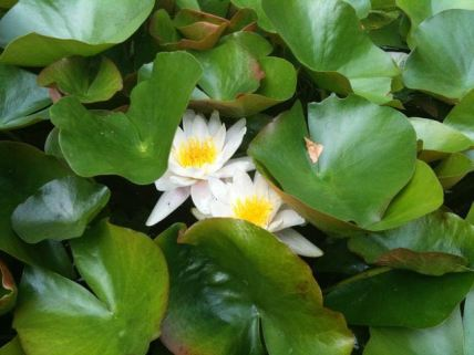 august-3-water-lilies