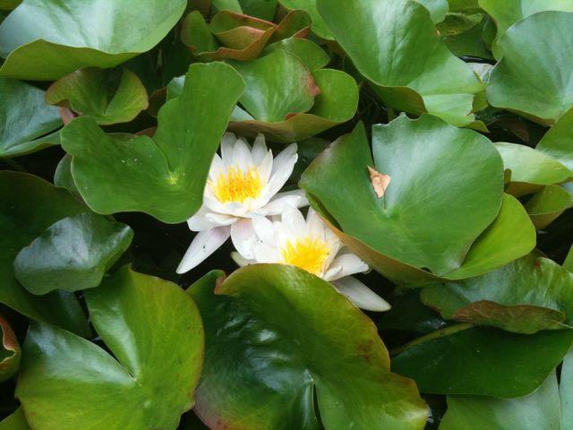 August 3 - Water Lilies.jpg