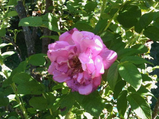 September 14 - The Last Rose.jpg