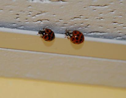 october-23-return-of-the-ladybugs