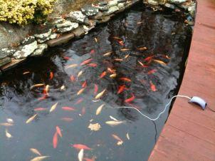 november-20-fish-feeding