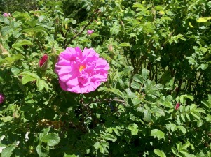Rose by iPhone
