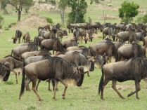 North Serengeti Wildebeest