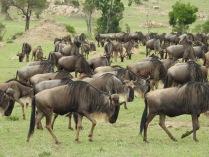 North Serengeti Wildebeest