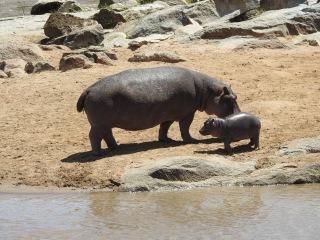 North Serengeti Hippo and calf