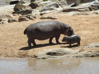 North Serengeti Hippo and calf