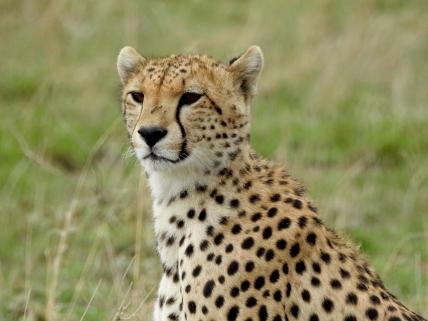 Our first Cheetah