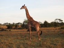 Morning view of Giraffe