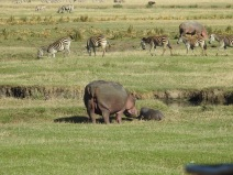 Hippo and Zebra in Ngorongoro Crater
