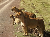Interested Lions in Ngorongoro Crater