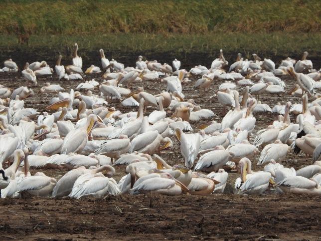 Pelicans at LakeManyara