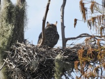 Great Horned Owl on the nest
