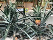 Pineapple plants!