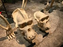 Male / Female Gorilla skulls