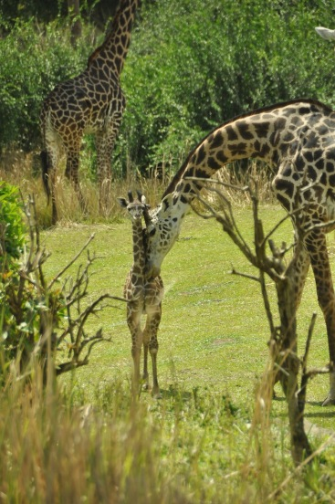 Wild Africa Trek 144